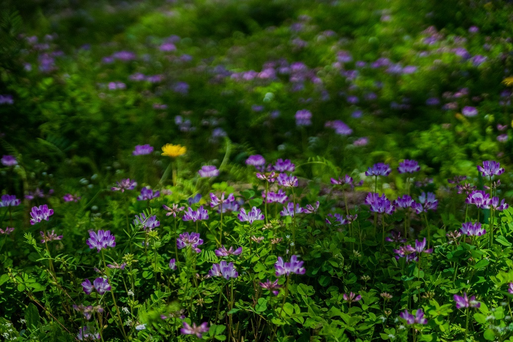 大原に咲く蓮華と桜_e0363038_11170186.jpg