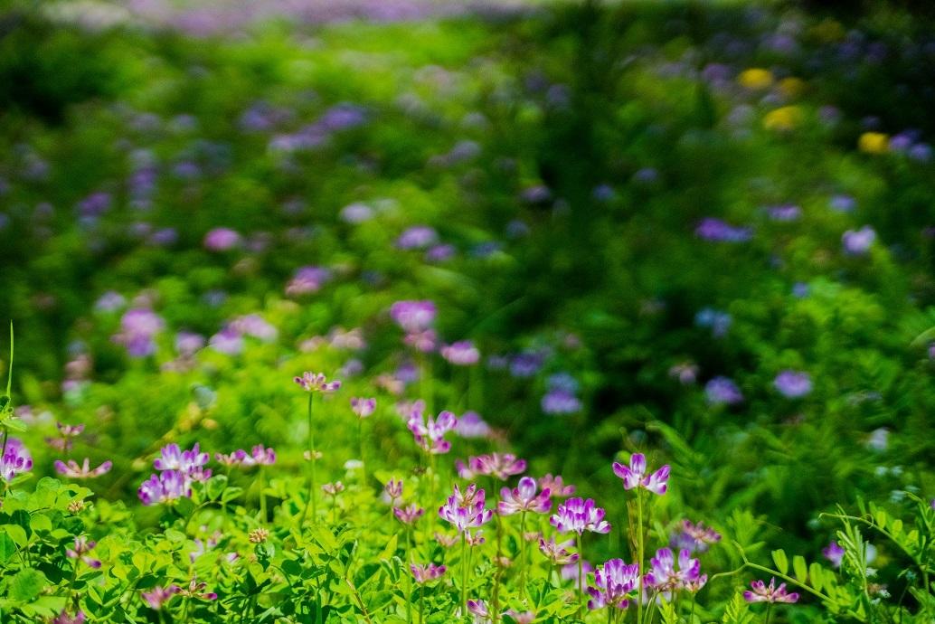 大原に咲く蓮華と桜_e0363038_11170505.jpg