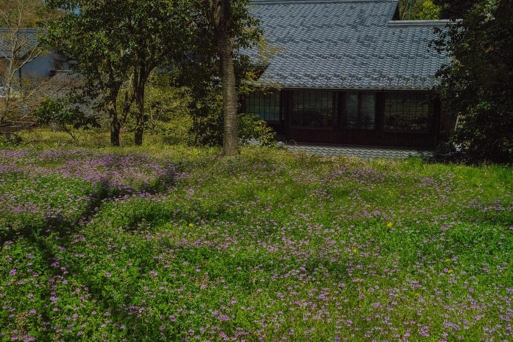 大原に咲く蓮華と桜_e0363038_11170965.jpg
