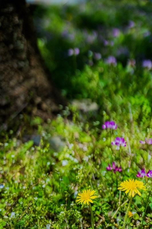 大原に咲く蓮華と桜_e0363038_11171238.jpg