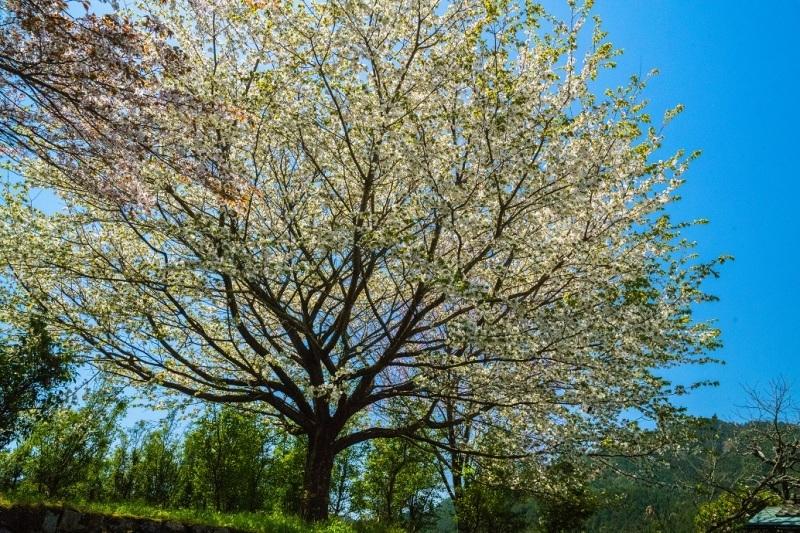 大原に咲く蓮華と桜_e0363038_11171627.jpg