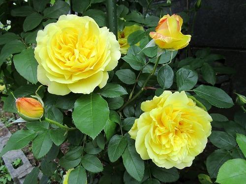 庭の薔薇が咲いた_c0327752_10470639.jpg