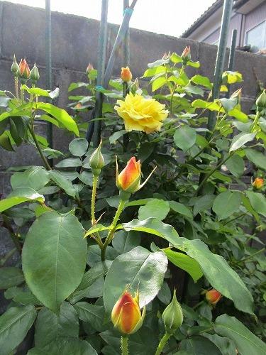 庭の薔薇が咲いた_c0327752_10472005.jpg