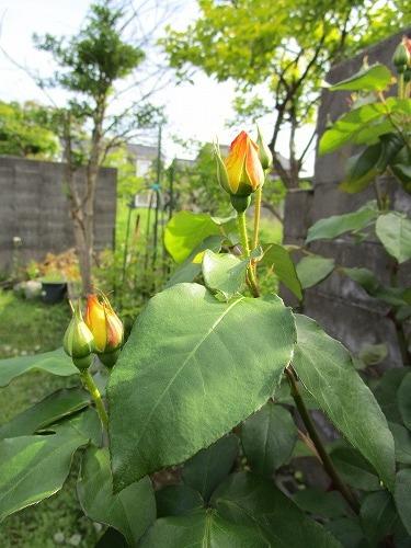 庭の薔薇が咲いた_c0327752_10481092.jpg