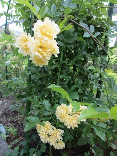庭の薔薇が咲いた_c0327752_10482841.jpg
