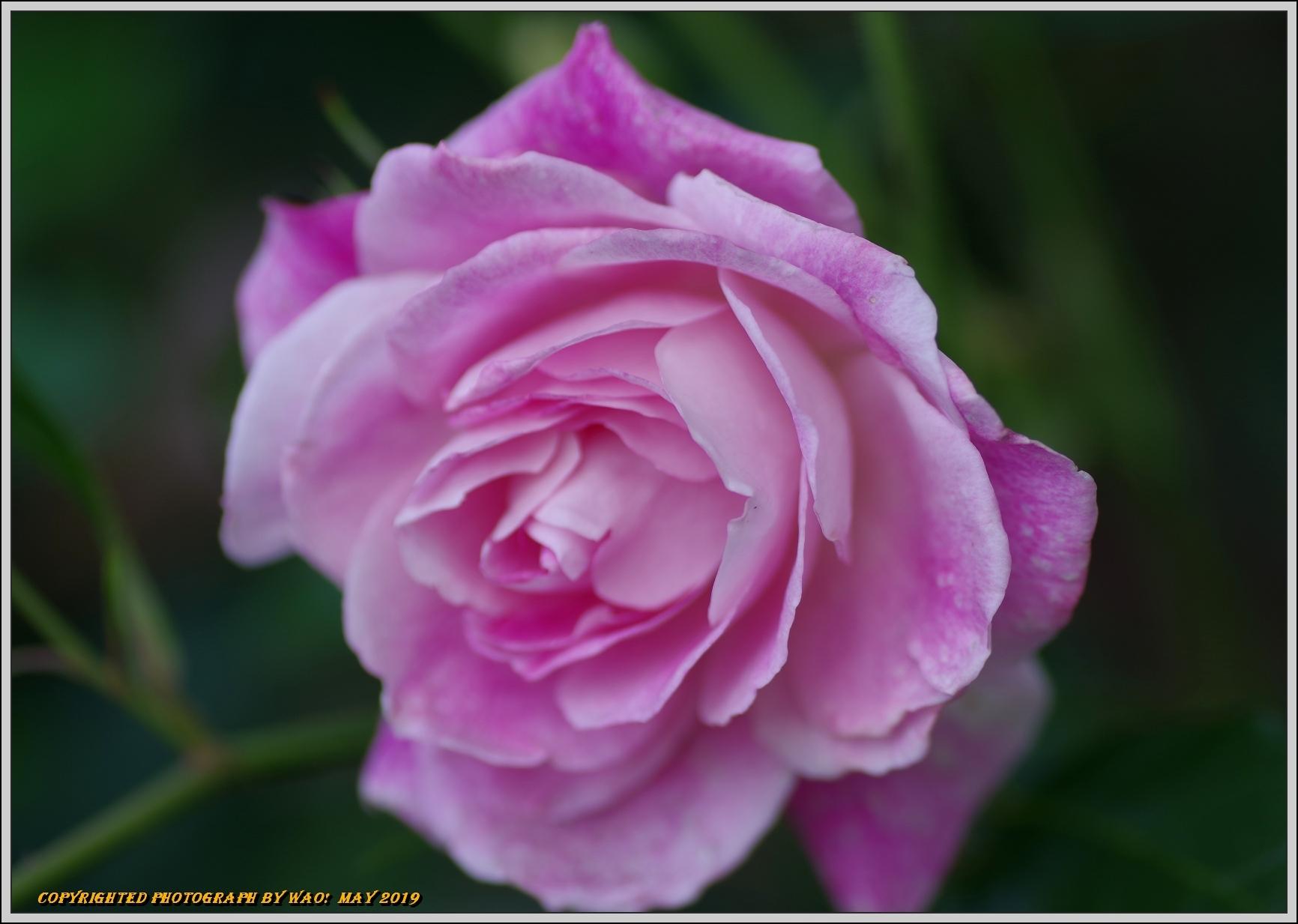 春バラ色とりどり_c0198669_16400151.jpg