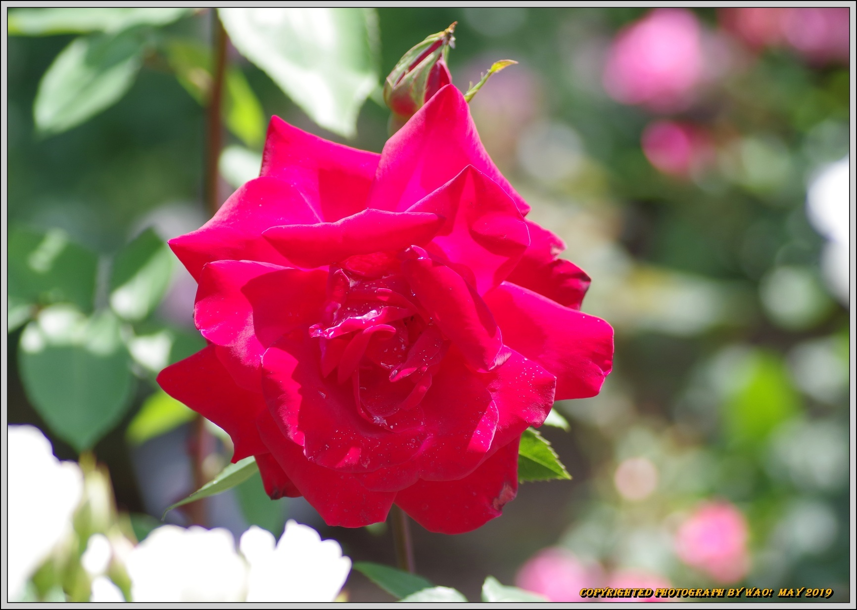 春バラ色とりどり_c0198669_16401427.jpg