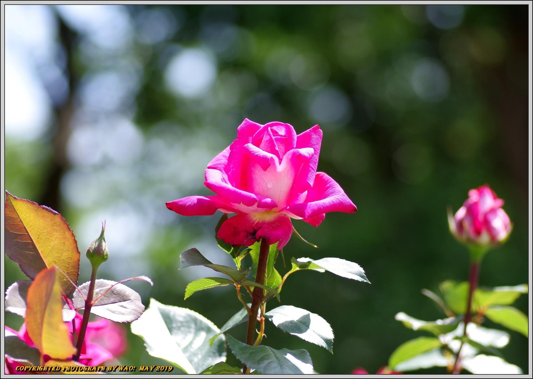 春バラ色とりどり_c0198669_16402240.jpg