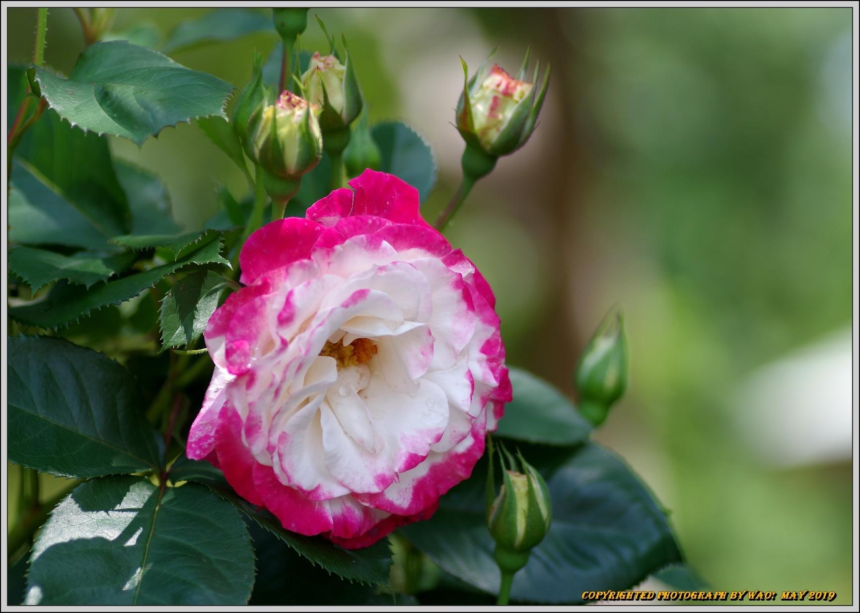 春バラ色とりどり_c0198669_16405782.jpg