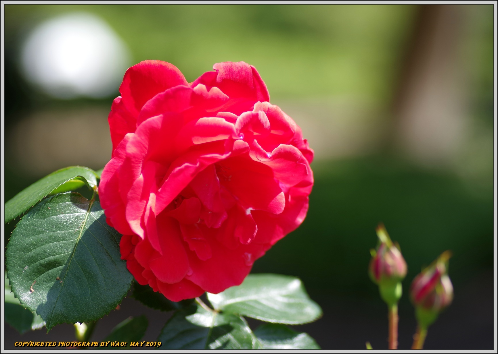 春バラ色とりどり_c0198669_16414179.jpg