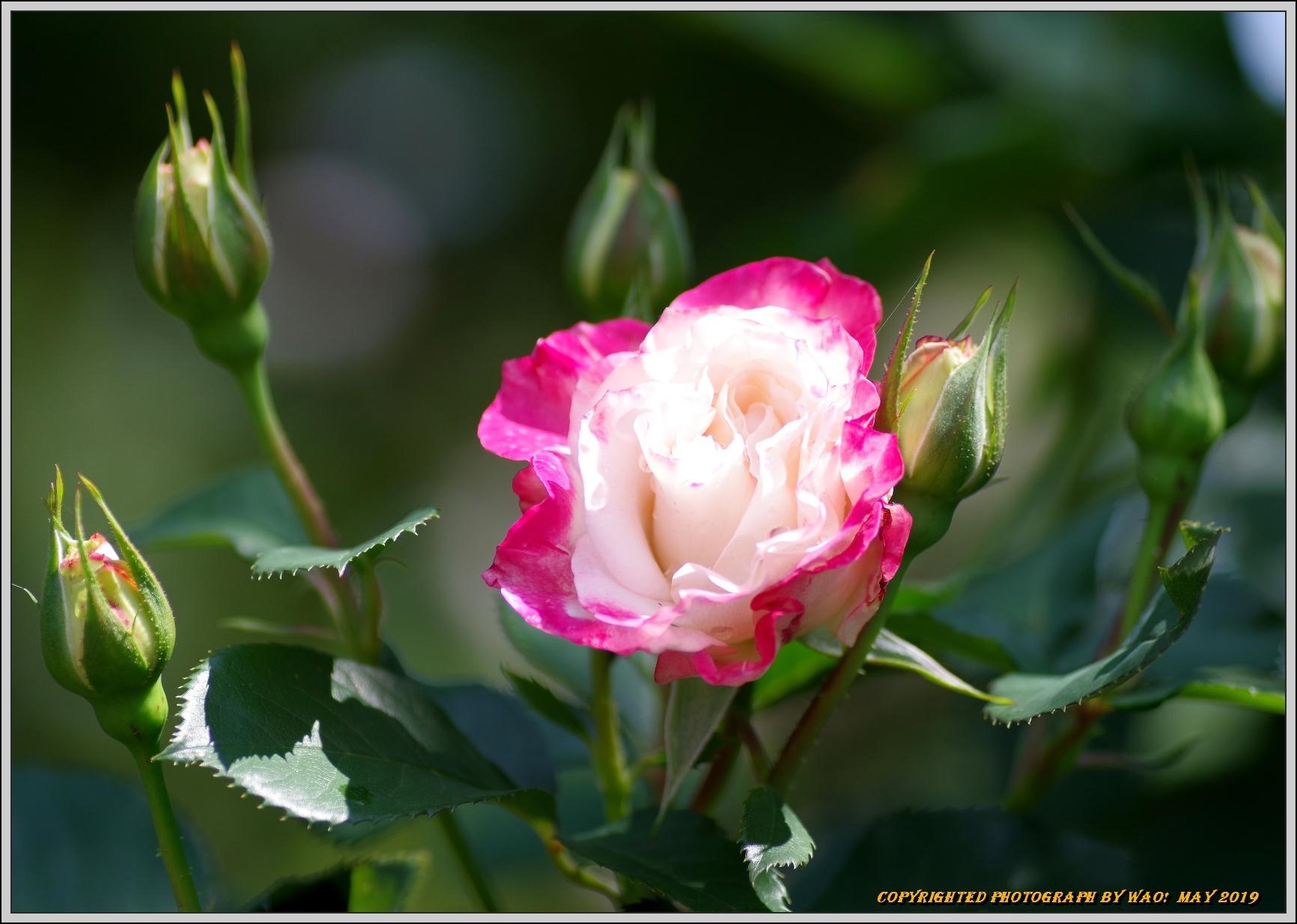 春バラ色とりどり_c0198669_16415497.jpg