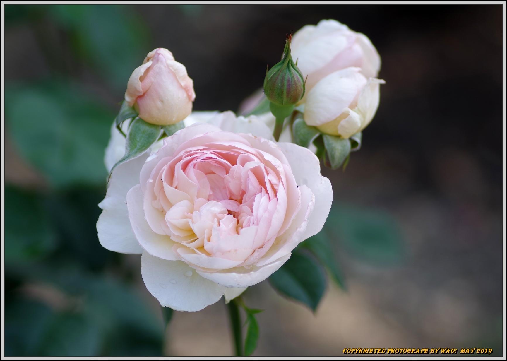 春バラ色とりどり_c0198669_16420967.jpg