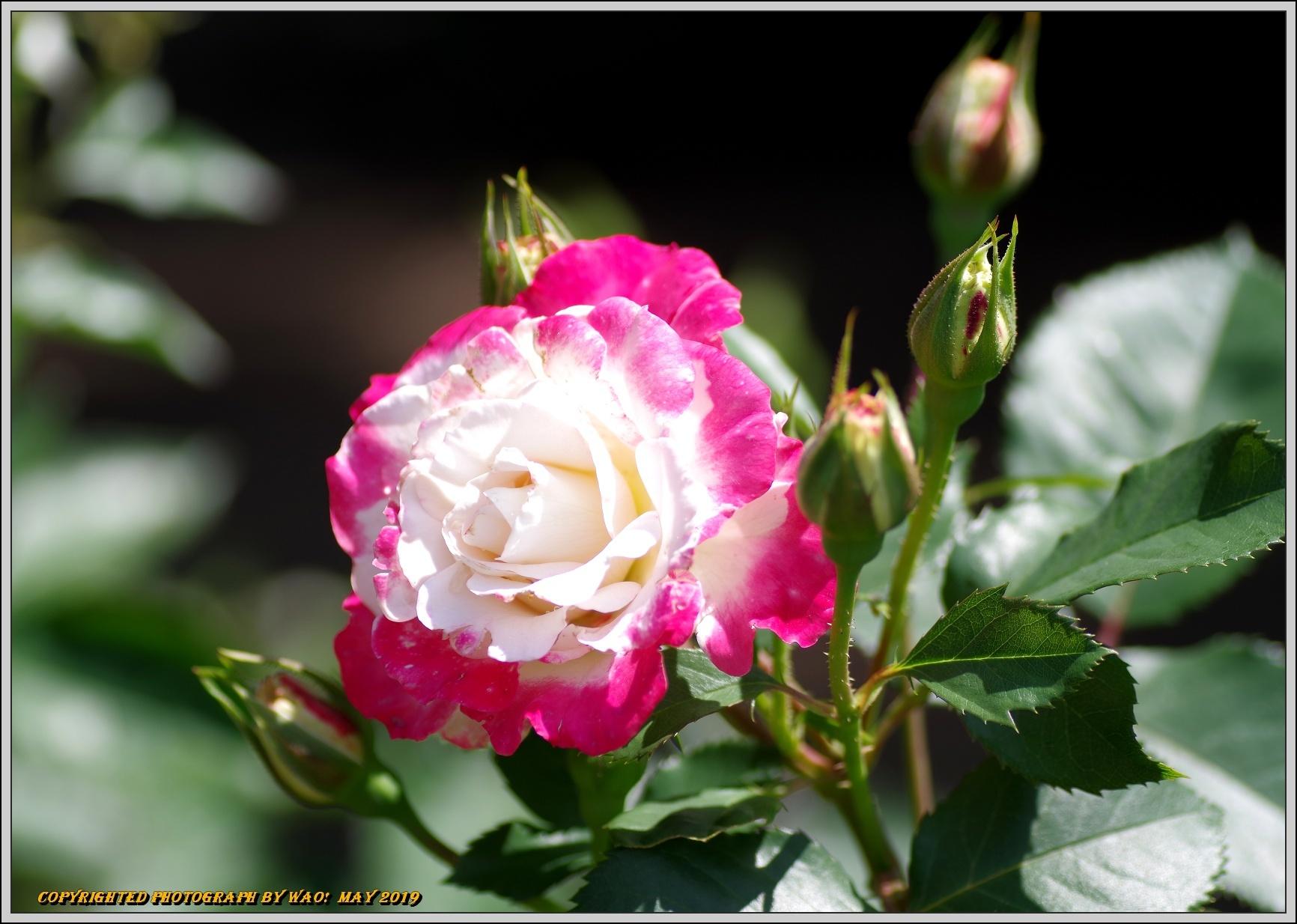 春バラ色とりどり_c0198669_16421921.jpg