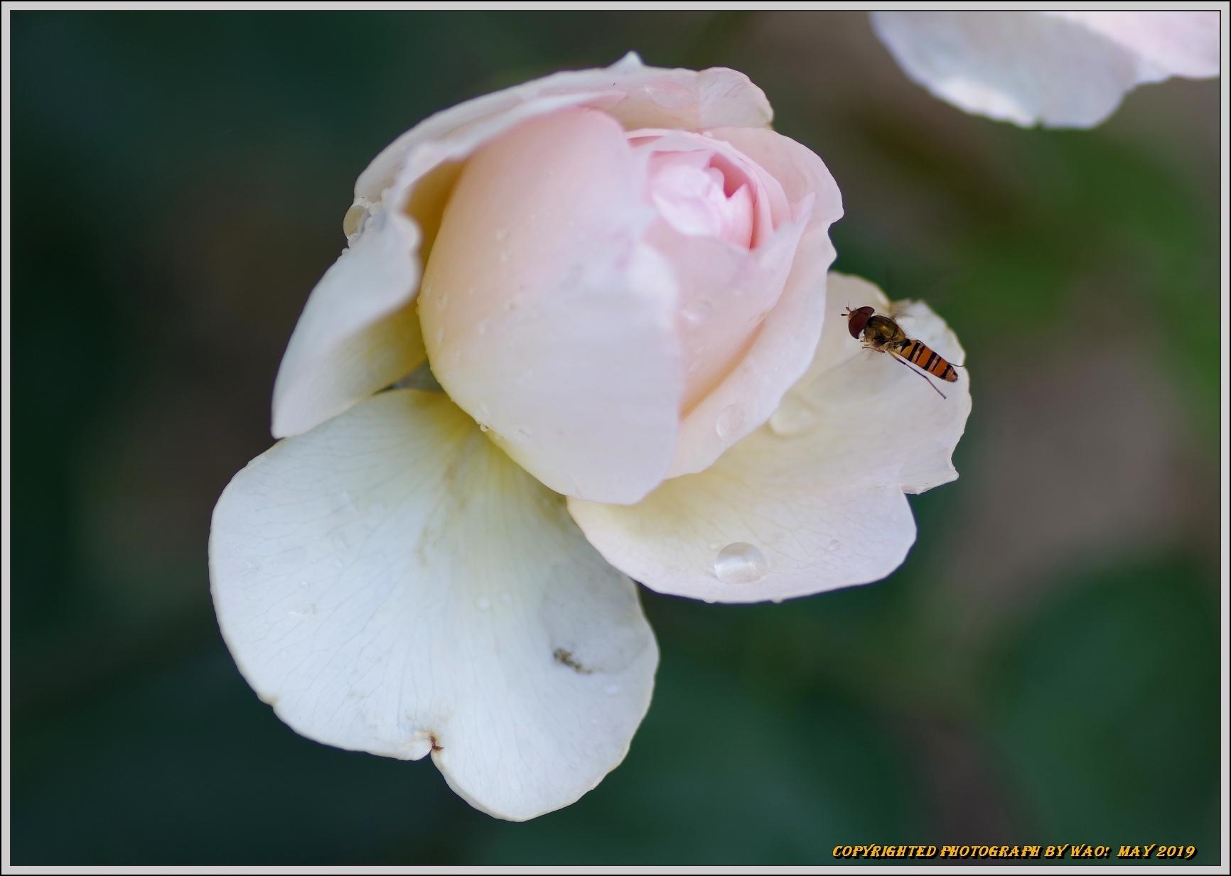 春バラ色とりどり_c0198669_16423725.jpg