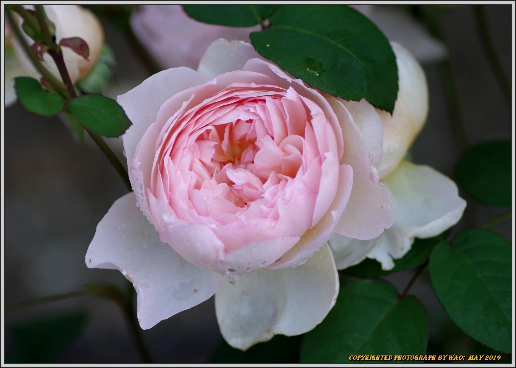 春バラ色とりどり_c0198669_16424247.jpg