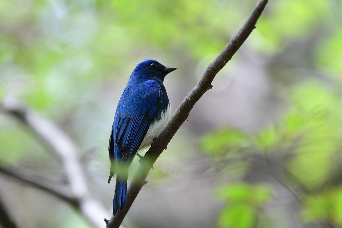 今回も青い鳥さん オオルリ_f0053272_22543068.jpg