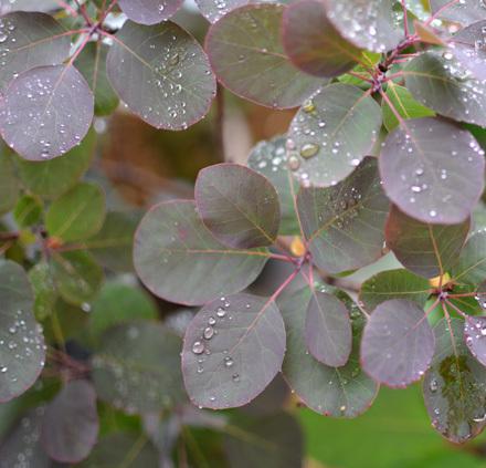 丸葉と雨粒_b0183404_15362969.jpg