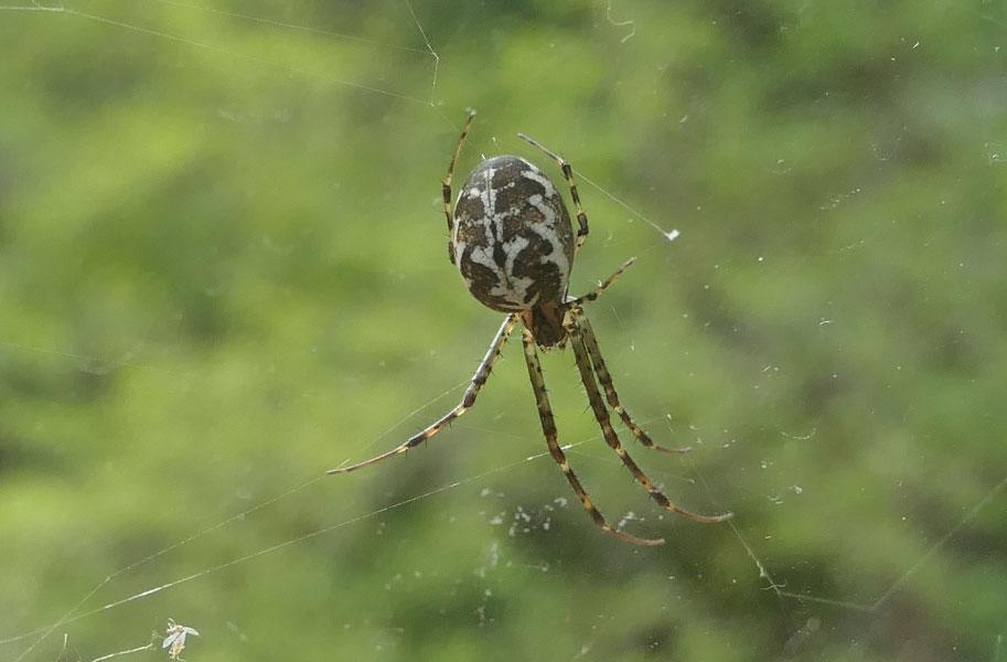 お腹にジグザグ模様が綺麗に入っている蜘蛛_b0025008_13552486.jpg