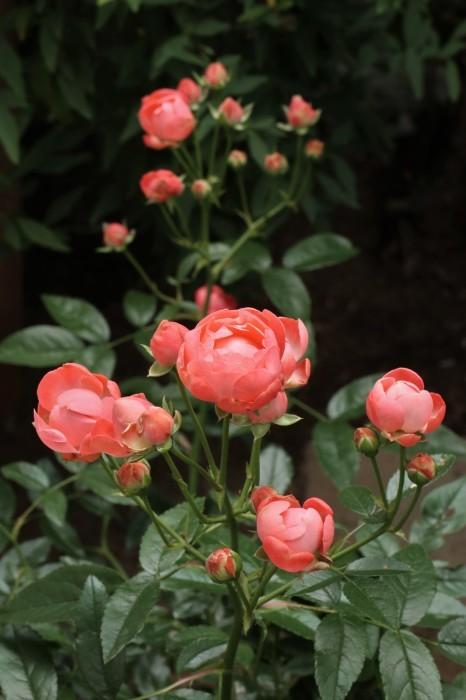 庭のバラ_d0150720_15094672.jpg