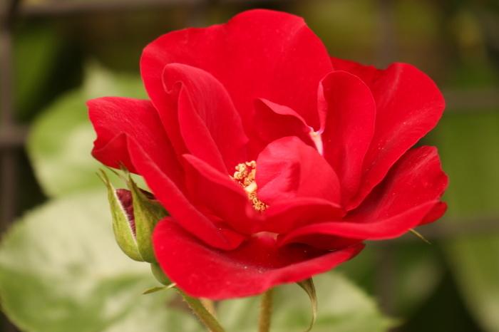 庭のバラ_d0150720_15104504.jpg