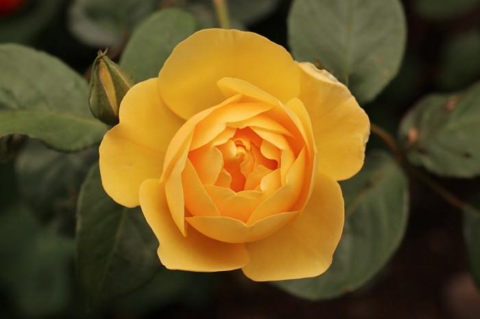 庭のバラ_d0150720_15114317.jpg