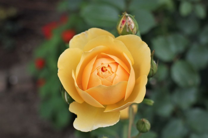 庭のバラ_d0150720_15121926.jpg