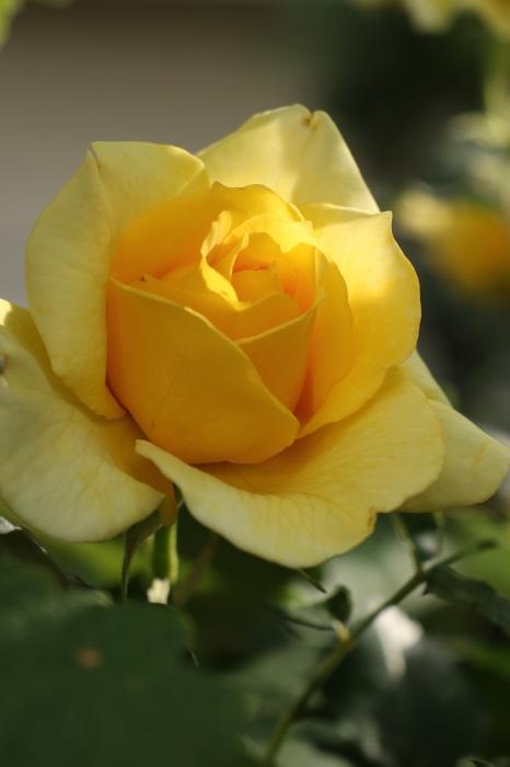 庭のバラ_d0150720_15135763.jpg