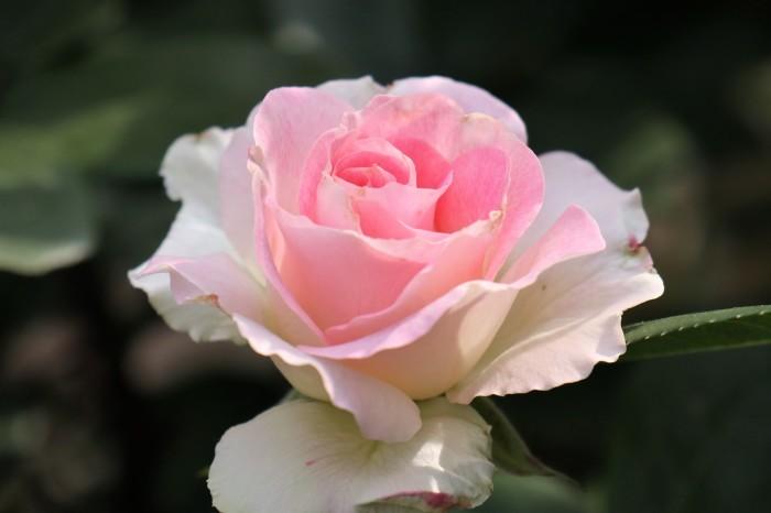 庭のバラ_d0150720_15245565.jpg