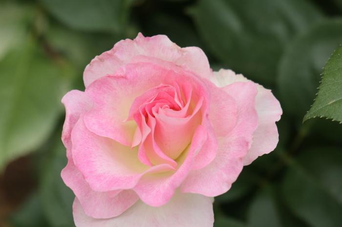 庭のバラ_d0150720_15251217.jpg