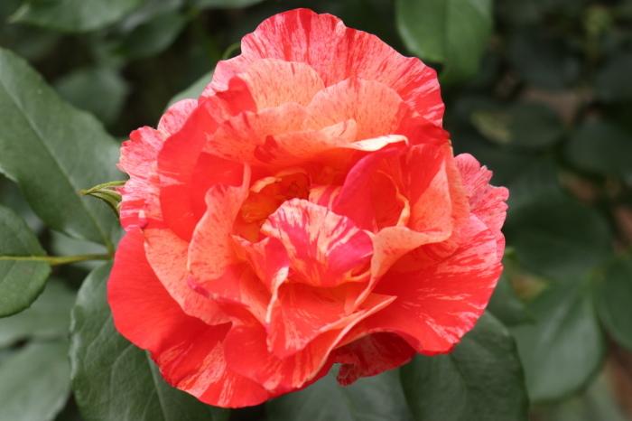 庭のバラ_d0150720_15275608.jpg