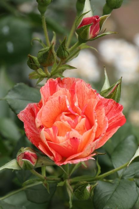 庭のバラ_d0150720_15284596.jpg