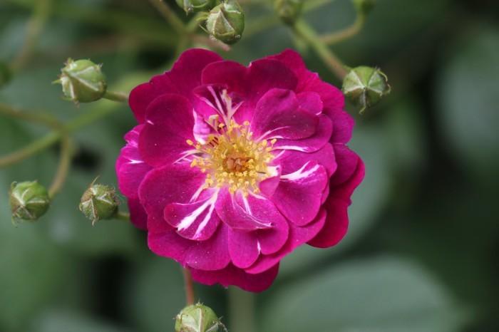 庭のバラ_d0150720_15331878.jpg