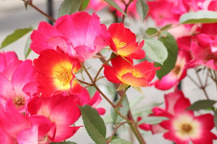 庭のバラ_d0150720_15382280.jpg