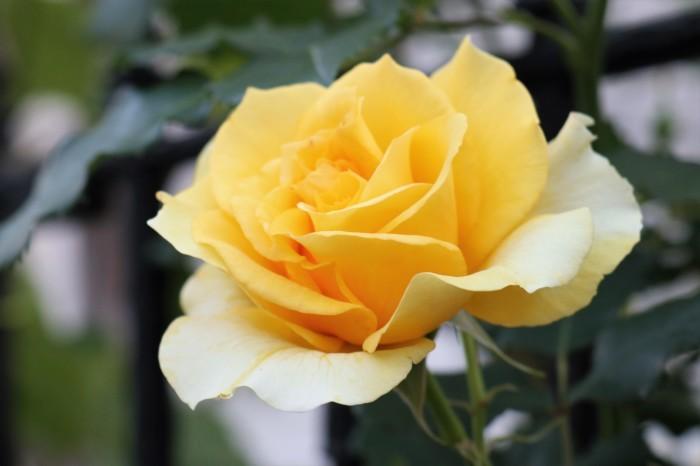 庭のバラ_d0150720_15441073.jpg