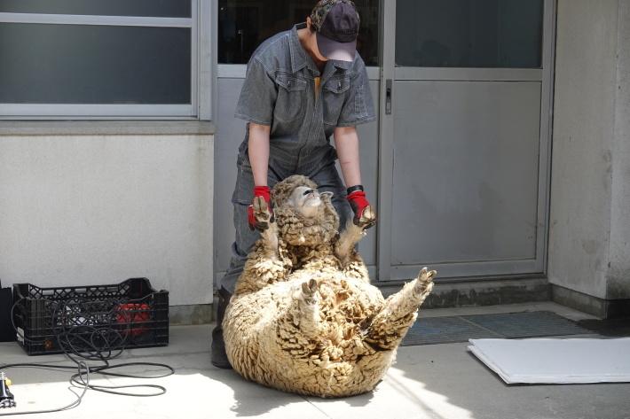 羊の毛刈り_a0212624_16585837.jpg