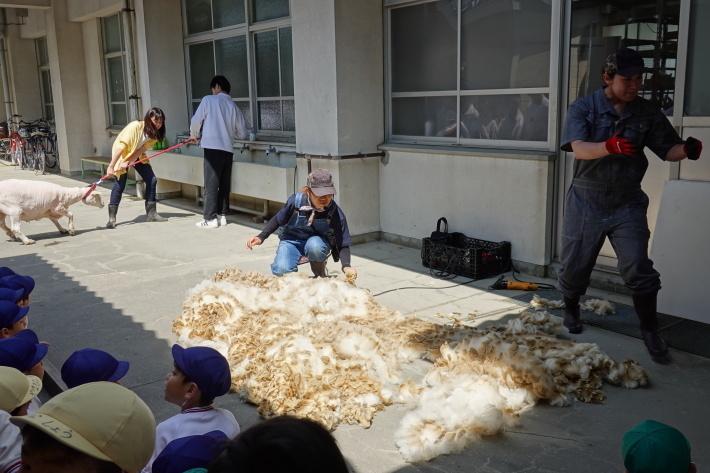 羊の毛刈り_a0212624_16593804.jpg