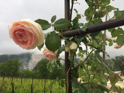 雨に濡れた薔薇と猫と_d0136540_05502785.jpg