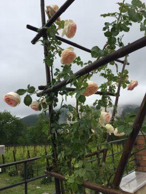雨に濡れた薔薇と猫と_d0136540_05503973.jpg