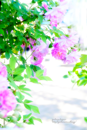 Rose garden_e0268051_20521474.jpg