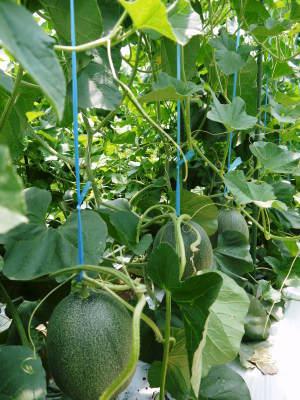 肥後グリーン 6月中旬からの出荷に向け順調に成長中!成長の3段階と惜しまぬ手間ひま_a0254656_16460391.jpg