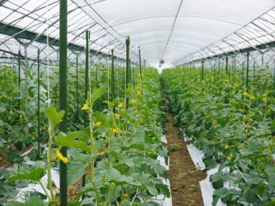 肥後グリーン 6月中旬からの出荷に向け順調に成長中!成長の3段階と惜しまぬ手間ひま_a0254656_17343662.jpg
