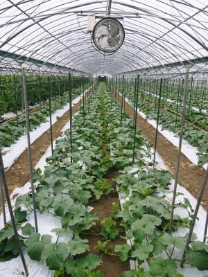 肥後グリーン 6月中旬からの出荷に向け順調に成長中!成長の3段階と惜しまぬ手間ひま_a0254656_17532349.jpg