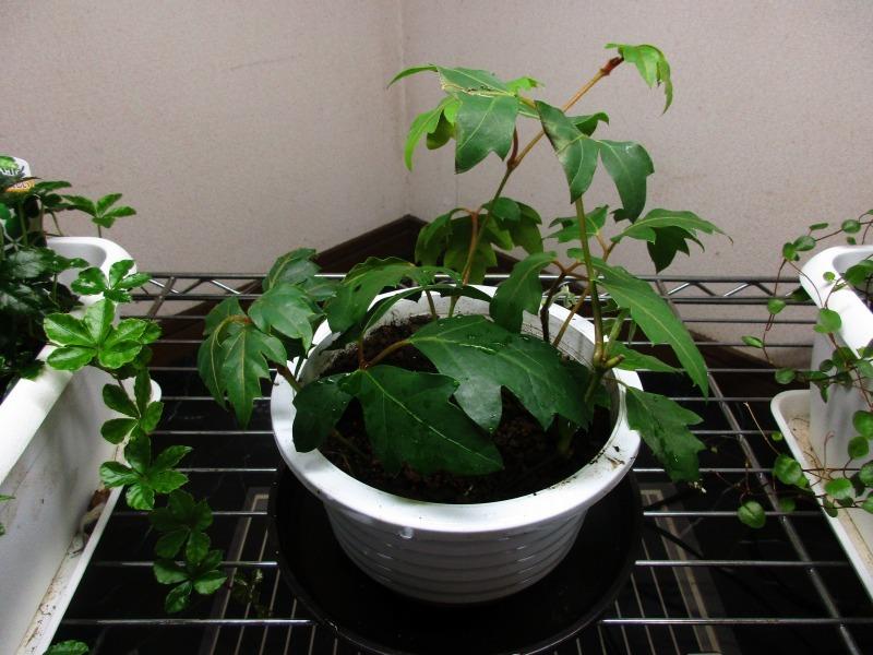 植物「エレンダニカ発根」_b0362459_16245273.jpg