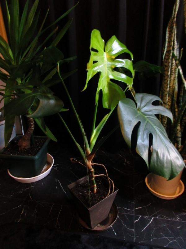 植物「エレンダニカ発根」_b0362459_16322358.jpg