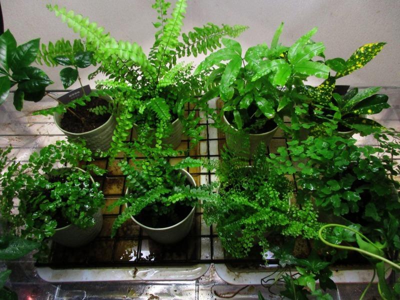 植物「エレンダニカ発根」_b0362459_16381438.jpg