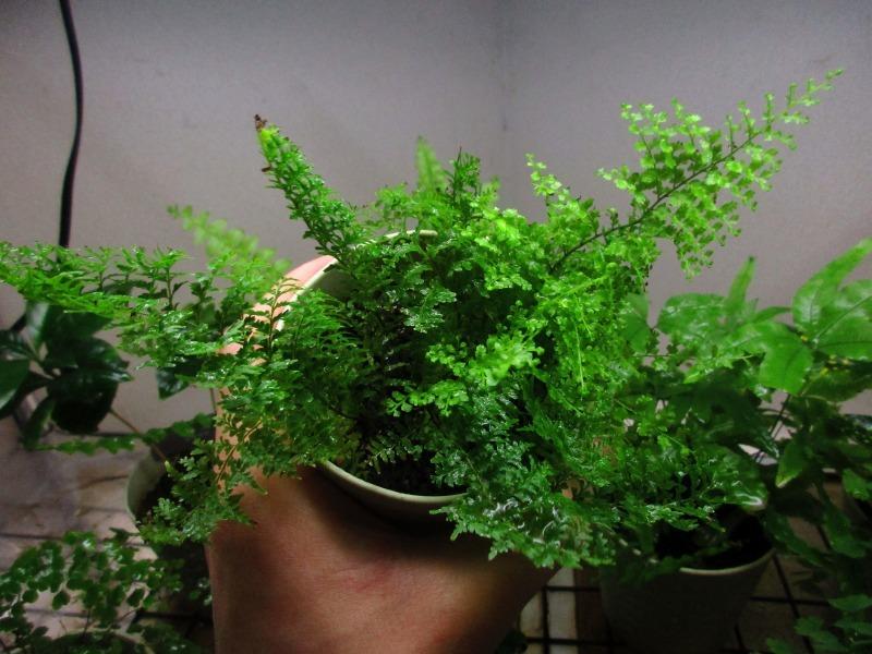 植物「エレンダニカ発根」_b0362459_16444319.jpg