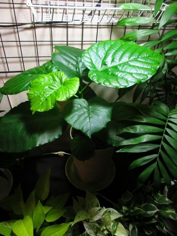 植物「エレンダニカ発根」_b0362459_16591205.jpg