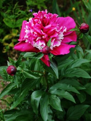 今日の庭 & 茶々情報♡_e0167795_16402496.jpg