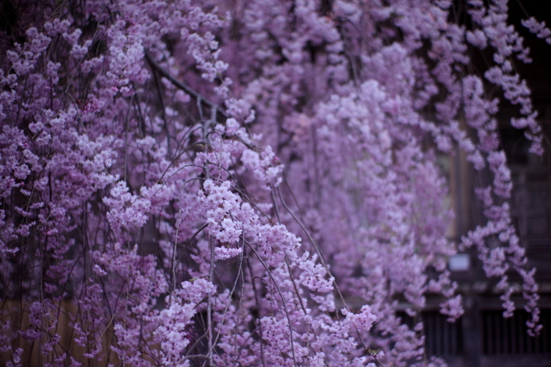 国上寺のしだれ桜_e0169421_21323256.jpg