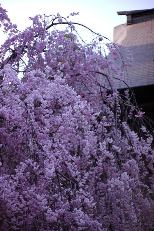 国上寺のしだれ桜_e0169421_21323281.jpg